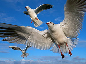 RF - Black headed gulls (Larus ridibundus) in flight photographed with a wide angle lens, East Anglia, UK, January. (This image may be licensed either as rights managed or royalty free.)  -  Ernie  Janes