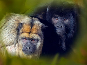 Black howler (Alouatta caraya) male and female, captive, occurs in Brazil and Paraguay. With digitally added leaf pattern.  -  Ernie  Janes