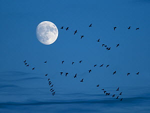Brent geese (Branta bernicla) flying with moon, Titchwell, Norfolk, UK, December  -  Ernie  Janes