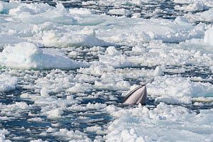 Minke whale (Balaenoptera acutorostrata) surfacing in forming sea ice. Atka Bay, Antarctica. March.  -  Stefan Christmann