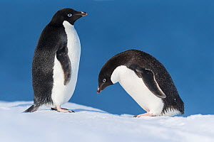 Adelie penguin (Pygoscelis adeliae), pair in courtship. Atka Bay, Antarctica. February. - Stefan Christmann
