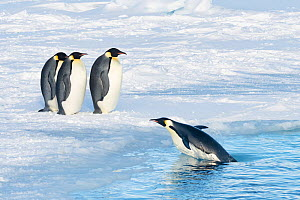 Emperor penguin (Aptenodytes forsteri), group on sea and one coming ashore, returning to form breeding colony. Atka Bay, Antarctica. April.  -  Stefan Christmann