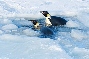 Emperor penguin (Aptenodytes forsteri) two emerging from gap in forming sea ice, coming back ashore to form breeding colony.. Atka Bay, Antarctica. April.  -  Stefan Christmann