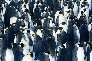Emperor penguin (Aptenodytes forsteri) forming breeding colony at start of winter. Atka Bay, Antarctica. April.  -  Stefan Christmann