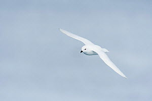 Snow petrel (Pagodroma nivea) in flight. Atka Bay, Antarctica. February. - Stefan Christmann
