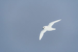 Nature Picture Library - snow petrel