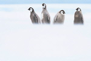 Emperor penguin (Aptenodytes forsteri), four chicks in moult aged 20-24 weeks, parents away fishing in open water. Atka Bay, Antarctica. January. - Stefan Christmann