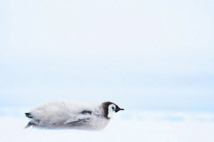 Emperor penguin (Aptenodytes forsteri) chick aged 20-24 weeks toboganning / sliding on ice whilst parents fish at sea. Atka Bay, Antarctica. January.  -  Stefan Christmann