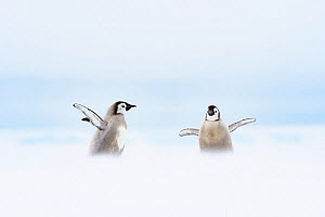 Emperor penguin (Aptenodytes forsteri) chicks aged 20-24 weeks stretching wings, in moult whilst parents fish at sea. Atka Bay, Antarctica. January. - Stefan Christmann