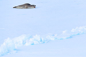 Leopard seal (Hydrurga leptonyx) yawning, lying on ice. Atka Bay, Antarctica. February.  -  Stefan Christmann