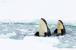 Orca (Orcinus orca), two spyhopping in gap in sea ice. Atka Bay, Antarctica. January.  -  Stefan Christmann