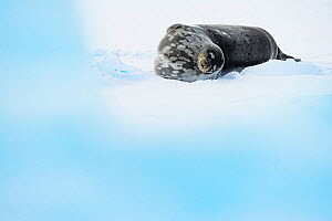 Weddell seal (Leptonychotes weddellii) sleeping. Atka Bay, Antarctica. April.  -  Stefan Christmann