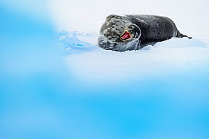 Weddell seal (Leptonychotes weddellii) yawning, lying on ice. Atka Bay, Antarctica. April. Commended in the Mammals Category of the GDT Nature Photographer of the Year 2019  -  Stefan Christmann