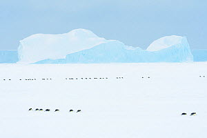 Emperor penguin (Aptenodytes forsteri) group sliding across sea ice to form breeding colony. Atka Bay, Antarctica. April 2017.  -  Stefan Christmann