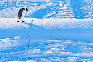 Emperor penguin (Aptenodytes forsteri) walking across crack in sea ice during return to breeding colony. Atka Bay, Antarctica. April. - Stefan Christmann