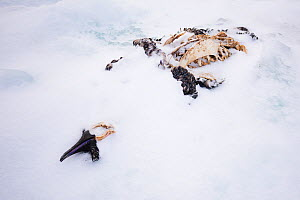 Emperor penguin (Aptenodytes forsteri) skeleton in snow. Atka Bay, Antarctica. April.  -  Stefan Christmann