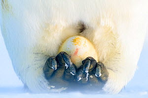 Emperor penguin (Aptenodytes forsteri), recently laid egg incubating on feet. Atka Bay, Antarctica. June. Highly commened in the Polar Passion category of  Nature's Best Photography Competition.  -  Stefan Christmann
