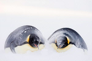 Emperor penguin (Aptenodytes forsteri) pair lying side by side in snow drift during winter storm. Atka Bay, Antarctica. May.  -  Stefan Christmann
