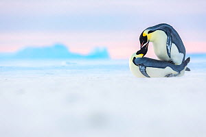 Emperor penguin (Aptenodytes forsteri) pair mating on sea ice. Atka Bay, Antarctica. May. Winner of the Portfolio category of the Wildlife Photographer of the Year Awards 2019.  -  Stefan Christmann