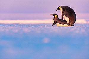 Emperor penguin (Aptenodytes forsteri) pair mating on sea ice. Atka Bay, Antarctica. May.  -  Stefan Christmann