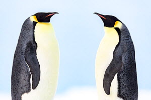 Emperor penguin (Aptenodytes forsteri) pair in courtship, facing each other. Atka Bay, Antarctica. May.  -  Stefan Christmann