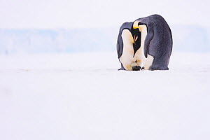 Emperor penguin (Aptenodytes forsteri) pair with recently laid egg, on sea ice. Atka Bay, Antarctica. May.  -  Stefan Christmann