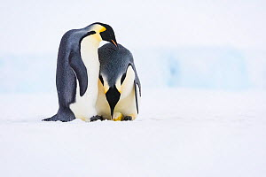 Emperor penguin (Aptenodytes forsteri) pair, female laying egg with male watching. Atka Bay, Antarctica. June. Sequence 1/5. - Stefan Christmann