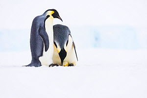 Emperor penguin (Aptenodytes forsteri) pair, female laying egg with male watching. Atka Bay, Antarctica. June. Sequence 2/5. - Stefan Christmann