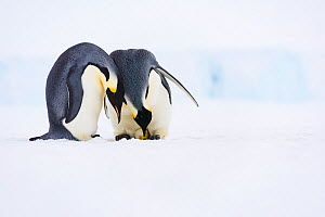 Emperor penguin (Aptenodytes forsteri) pair, female laying egg with male watching. Atka Bay, Antarctica. June. Sequence 3/5. - Stefan Christmann