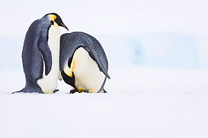 Emperor penguin (Aptenodytes forsteri) pair, female laying egg with male watching. Atka Bay, Antarctica. June. Sequence 4/5. - Stefan Christmann