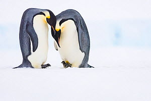 Emperor penguin (Aptenodytes forsteri) pair, female laying egg with male watching. Atka Bay, Antarctica. June. Sequence 5/5. - Stefan Christmann