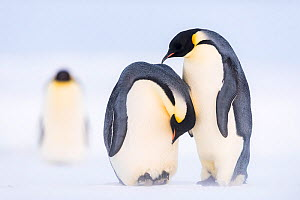 Emperor penguin (Aptenodytes forsteri), pair with female laying egg. Atka Bay, Antarctica. June. Sequence 1/2. - Stefan Christmann