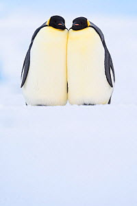 Emperor penguin (Aptenodytes forsteri) pair in courtship, on sea ice. Atka Bay, Antarctica. May.  -  Stefan Christmann
