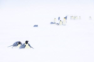 Emperor penguin (Aptenodytes forsteri) females tobogganing and walking across sea ice on return to colony to feed young. Atka Bay, Antarctica. August. uncatalogued  -  Stefan Christmann