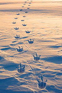 Emperor penguin (Aptenodytes forsteri) footprints on sea ice. Atka Bay, Antarctica. August.  -  Stefan Christmann