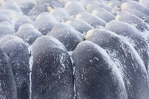 Emperor penguin (Aptenodytes forsteri) males in breeding colony huddling during winter storm. Atka Bay, Antarctica. July.  -  Stefan Christmann