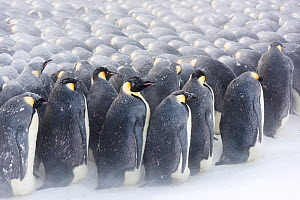 Emperor penguin (Aptenodytes forsteri) males in breeding colony incubating eggs, huddling during winter storm. Penguins on outside repositioning themselves to gain protection from weather. Atka Bay, A... - Stefan Christmann