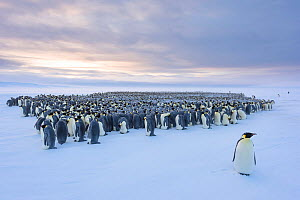 Emperor penguin (Aptenodytes forsteri) standing in front of huddling breeding colony. Atka Bay, Antarctica. August 2017.  -  Stefan Christmann