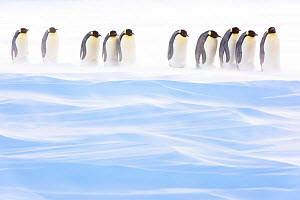 Emperor penguin (Aptenodytes forsteri) group of brooding males amongst drifting snow. Atka Bay, Antarctica. August. - Stefan Christmann