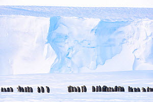 Emperor penguin (Aptenodytes forsteri) breeding colony on sea ice, ice shelf in background. Atka Bay, Antarctica. August. - Stefan Christmann