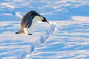 Emperor penguin (Aptenodytes forsteri) preparing to jump over crack in sea ice. Atka Bay, Antarctica. August. - Stefan Christmann