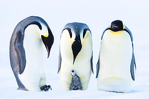Emperor penguin (Aptenodytes forsteri), group of three males incubating, one with begging chick. Atka Bay, Antarctica. August. - Stefan Christmann