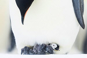 Emperor penguin (Aptenodytes forsteri) male brooding snoozing young chick. Atka Bay, Antarctica. August. - Stefan Christmann