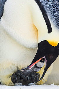 Emperor penguin (Aptenodytes forsteri) male feeding chick aged a few days. Atka Bay, Antarctica. August.  -  Stefan Christmann