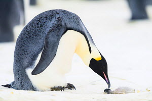 Emperor penguin (Aptenodytes forsteri) male examining dead chick on ice. Atka Bay, Antarctica. August.  -  Stefan Christmann