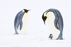 Emperor penguin (Aptenodytes forsteri) brooding young chick on feet, brooding adult in background. Atka Bay, Antarctica. August.  -  Stefan Christmann