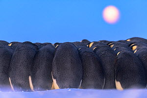 Emperor penguin (Aptenodytes forsteri) males huddling whilst incubating eggs,under full moon during polar night, Atka Bay, Antarctica. July. - Stefan Christmann