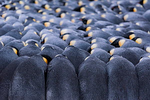 Emperor penguin (Aptenodytes forsteri) colony, males huddling whilst incubating eggs. Atka Bay, Antarctica. July. - Stefan Christmann