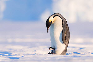 Emperor penguin (Aptenodytes forsteri) male with young chick. Atka Bay, Antarctica. August. - Stefan Christmann