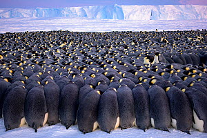 Emperor penguin (Aptenodytes forsteri) breeding colony, males huddling on sea ice during polar night, incubating eggs, ice shelf in background. Atka Bay, Antarctica. July 2017. - Stefan Christmann
